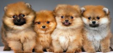 Pomeranian Puppies – Are You Ready To Get One?